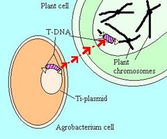 T-DNA Transfer from Agrobacterium to Plant Chromosome